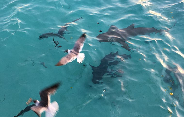 Feeding the sharks