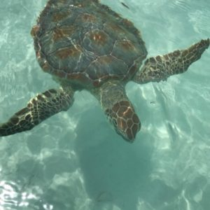 Sea turtle in crystal clear water shot from above